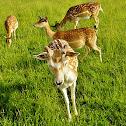Reh, Roe Deer