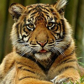 tiger 2-1.jpg