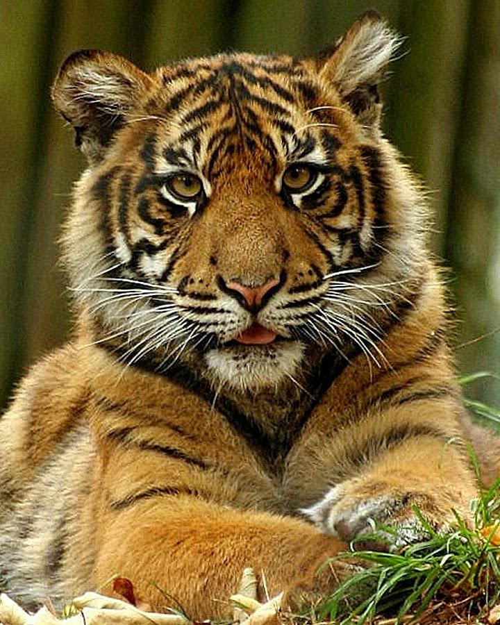 Tiger Cub by Ralph Harvey - Animals Other Mammals ( paignton zoo, animals, cat, tiger, wildlife, ralph harvey, cub )