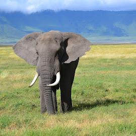 Elephant by Shashank Pattekar - Novices Only Wildlife ( crater, elephant, africa, tanzania, ngorongoro,  )