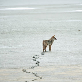 Trail of the Coyote  by Cody Hoagland - Animals Other Mammals ( coyote )