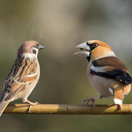 Coccothraustes coccothraustes vs passer by Dragomir Taborin - Animals Birds