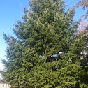 duglas fir tree