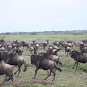Wildebeest--great migration