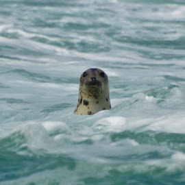 Cheeky Seal by Richard James - Animals Sea Creatures