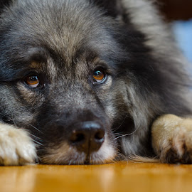 Please by Eric Bass - Animals - Dogs Portraits ( keeshond, wolfspitz,  )