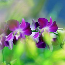 by Koento Birowo - Flowers Single Flower