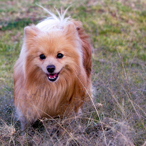pomeranian by Cristobal Garciaferro Rubio - Animals - Dogs Playing