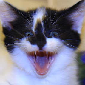 After by Ron Jnr - Animals - Cats Kittens ( kitten, kitten's mouth, black and white kitten, kitten's teeth, kitten's face, kitten looking,  )