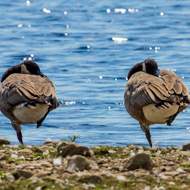 happy feet by Jim Anderson - Animals Birds ( water, detail, color, birds, closeup )