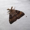 Gypsy Moth (male)