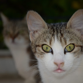 by Pantelis Orfanos - Animals - Cats Portraits