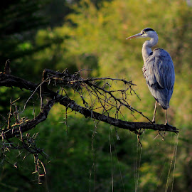 happy heron by Matium Wium - Novices Only Wildlife