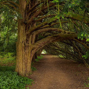 Yew tunnel by Jack Brittain - Nature Up Close Trees & Bushes ( england, uk, tree, yorkshire, helmsley, forest, yew, duncombe estate )