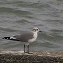 Laughing Gull (basic plumage)