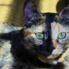 Cookie's Green Eyes by Steven Kirwan - Animals - Cats Kittens ( cats, kitten, cat face, cat, cat eyes, cat portrait, kittens )