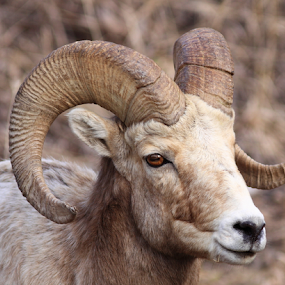 Rocky Mountaing Bighorn Sheep by Brian Robinson - Animals Other Mammals (  )