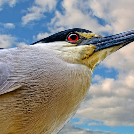 Black-crowned night heron in the morning by Sandy Scott - Digital Art Animals ( fishing birds, black-crowned night heron, heron portrait, florida birds, birds, heron, night heron,  )