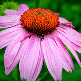 Coneflower by Steve Friedman - Flowers Single Flower ( flower,  )