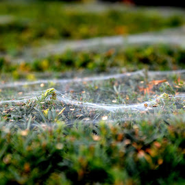Web on a Hedge by Marieke Fechner - Nature Up Close Webs ( hedge, green, white, web, spider )