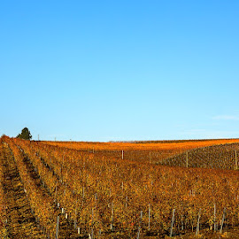 Grapes are gone.... by Viorel Stanciu - Landscapes Prairies, Meadows & Fields ( autumn, grapes, autumn colors, landscape, winery, fall, color, colorful, nature,  )