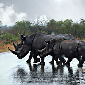 Wet crossing by Pieter J de Villiers - Animals Other Mammals ( mammals, road crossing, animals, kruger national park, family, south africa, wet, rhino, rain,  )