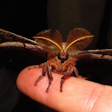 Polyphemus Moth (male)