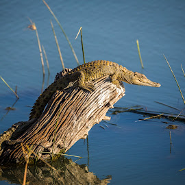 Soaking up the Sun by Craig Main - Animals Reptiles ( 2014, crocodile, july, baby, pilansberg )
