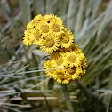 Flor paramo