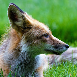 Red Fox profile by Dan Ferrin - Animals Other Mammals ( fox, nature, wildlife, mammal, red fox )