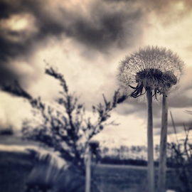 by Todd Reynolds - Instagram & Mobile Instagram ( dandelion )