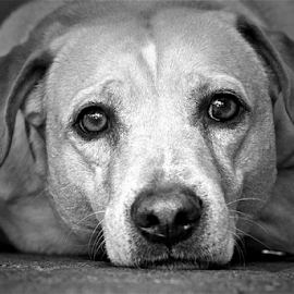 B&W Dog by David Herholz - Animals - Dogs Portraits ( pet, white, dog, black, animal, #GARYFONGPETS, #SHOWUSYOURPETS )