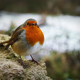 You lookin at me?! by Luke Moseley - Animals Birds ( bird robin dof bokeh winter snow )