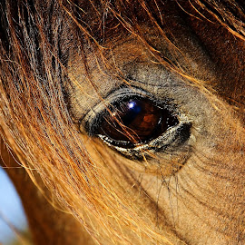 Eye of a horse -Imperial Pilot's eye  by Rita Birkeland - Animals Horses ( love, horses, horse, wisdom, soul, beauty, eye )