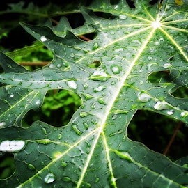 by Sivani Siva - Instagram & Mobile iPhone ( rain, drops, on, a, papaya, leaf, green, nature, at, my, backyard )