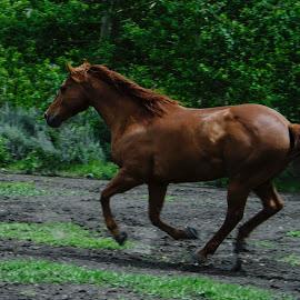 by Laura Chiara - Animals Horses (  )
