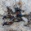 Winged ants (nuptial flight)