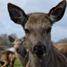 The Scottish Deer Centre by Sarka Brichová - Novices Only Wildlife ( mammals, wild, baby, deer )