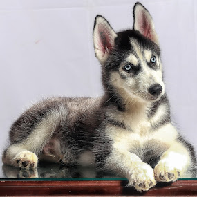 3rd month by Tt Sherman - Animals - Dogs Puppies ( husky, , baby, young, animal )