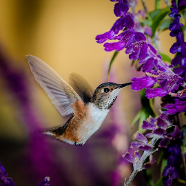 Allen's Hummingbird by Ken Wade - Animals Birds ( purple, salvia, allen's hummingbird, selasphorus sasin, bird in flight )