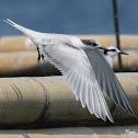 Black nape Tern - Juvenile
