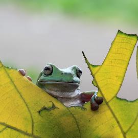 Hello.... by Marga Darman Sarie - Animals Amphibians ( #frog #instanusantara #instanusantarajakarta,  )