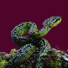 Black-speckled palm-pit viper. Speckled palm viper