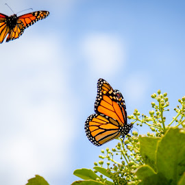 butterflies in flight by Sheena True - Animals Insects & Spiders ( flight, butterfly, colorful, sunny, garden )
