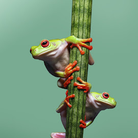 Duo by Kurito Afsheen - Animals Amphibians