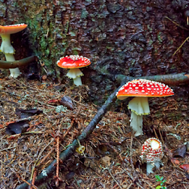 Amanita muscaria by Stanislav Horacek - Nature Up Close Mushrooms & Fungi