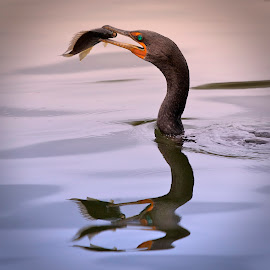 Cormorant Catch Reflection by Leslie Reagan - Animals Birds ( bird, nature, cormorant, cormorantcatch, shorebird,  )