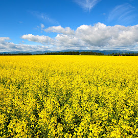 Mustard Field, Western Montana by Greg Koehlmoos - Landscapes Prairies, Meadows & Fields ( yellow flowers, mustard field, big sky, big sky montana, western montana, beautiful yellow fields,  )