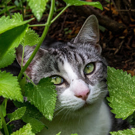 My Boy Yachi Loves Catnip! by Justin Burger - Animals - Cats Portraits ( looking, cat, outdoor, pretty, eyes )