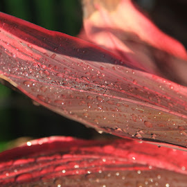 red water drops by Eric Rainbeau - Nature Up Close Trees & Bushes